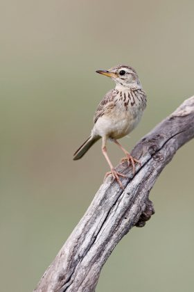 African Pipit / Nambiti Game Reserve, South Africa / December 2019