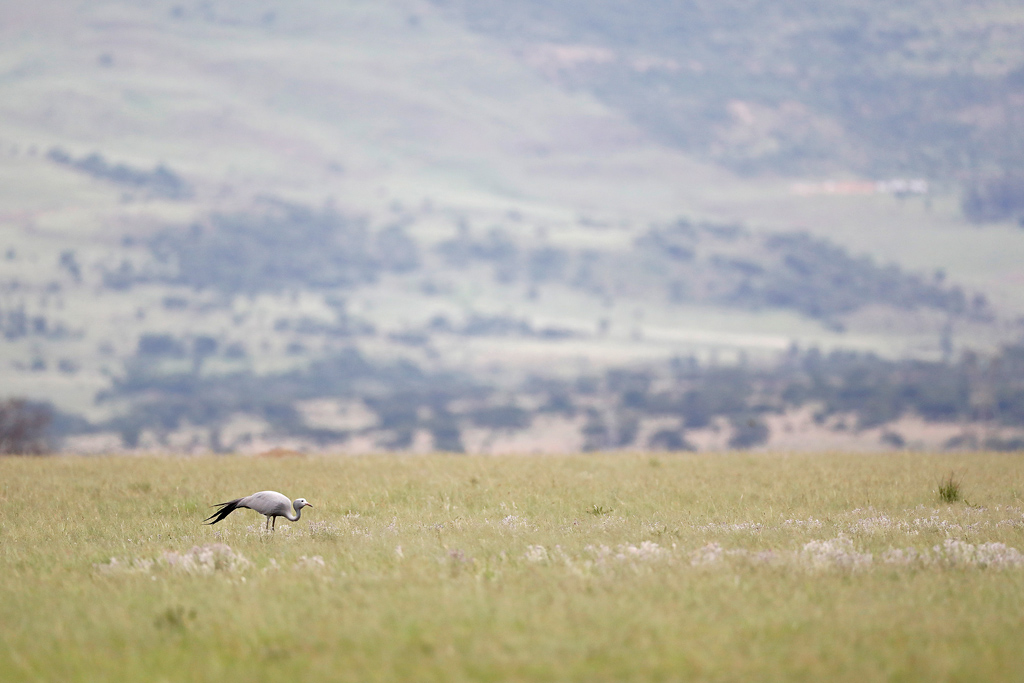 Blue Crane / Nambithi Game Reserve, Ladysmith, South Africa