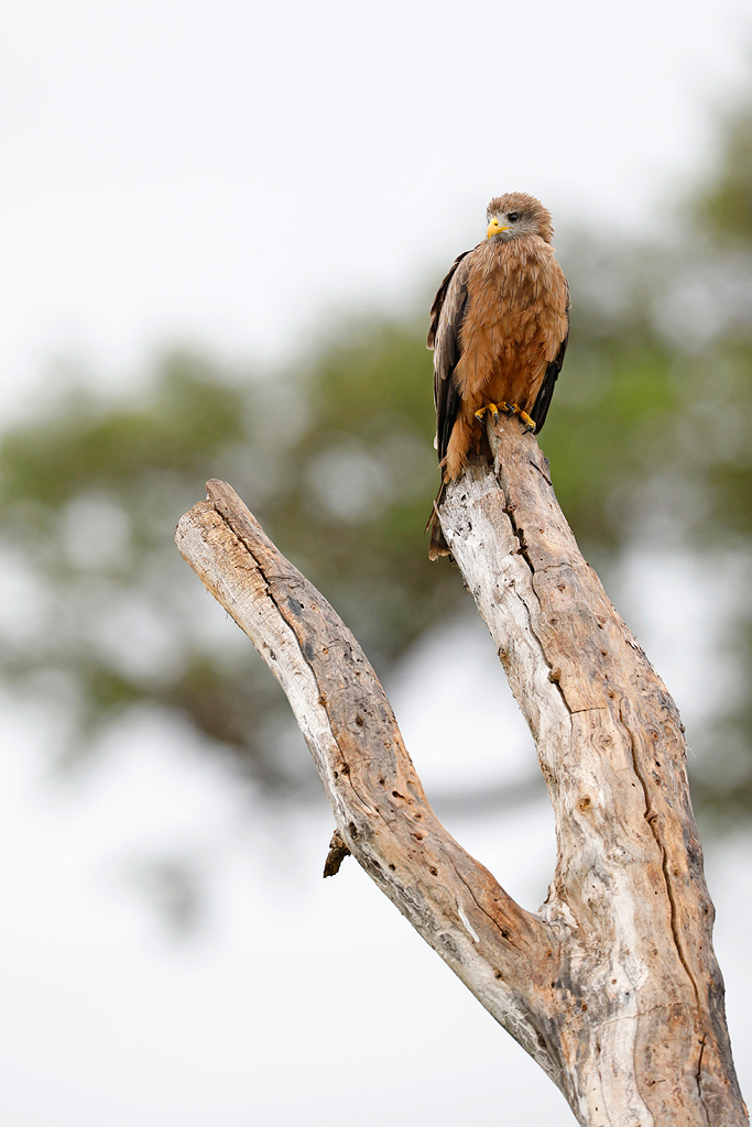 Yellow-billed Kite / Nambiti Game Reserve, Ladysmith, South Africa / December 2019