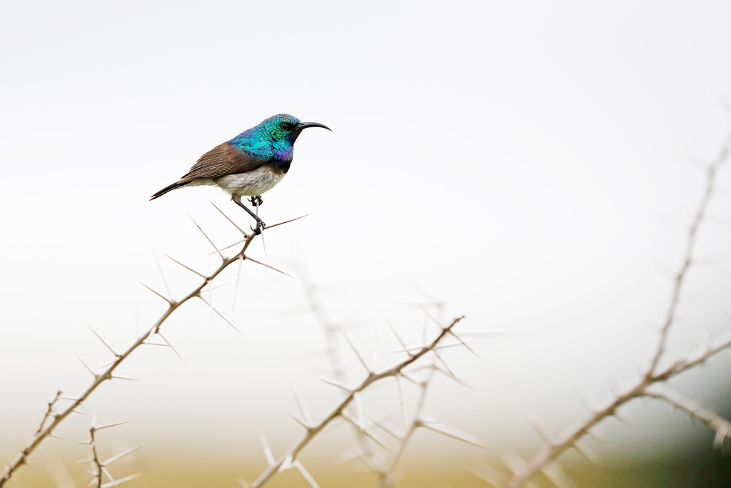 White-bellied Sunbird / Nambiti Game Reserve, South Africa / December 2019