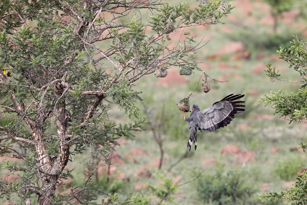 African Harrier Hawk / Nambiti Game Reserve, South Africa / December 2019