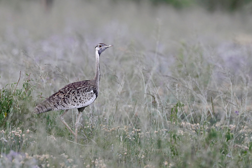 Black-bellied Bustard / Nambiti Game Reserve, Ladysmith, South Africa / December 2019