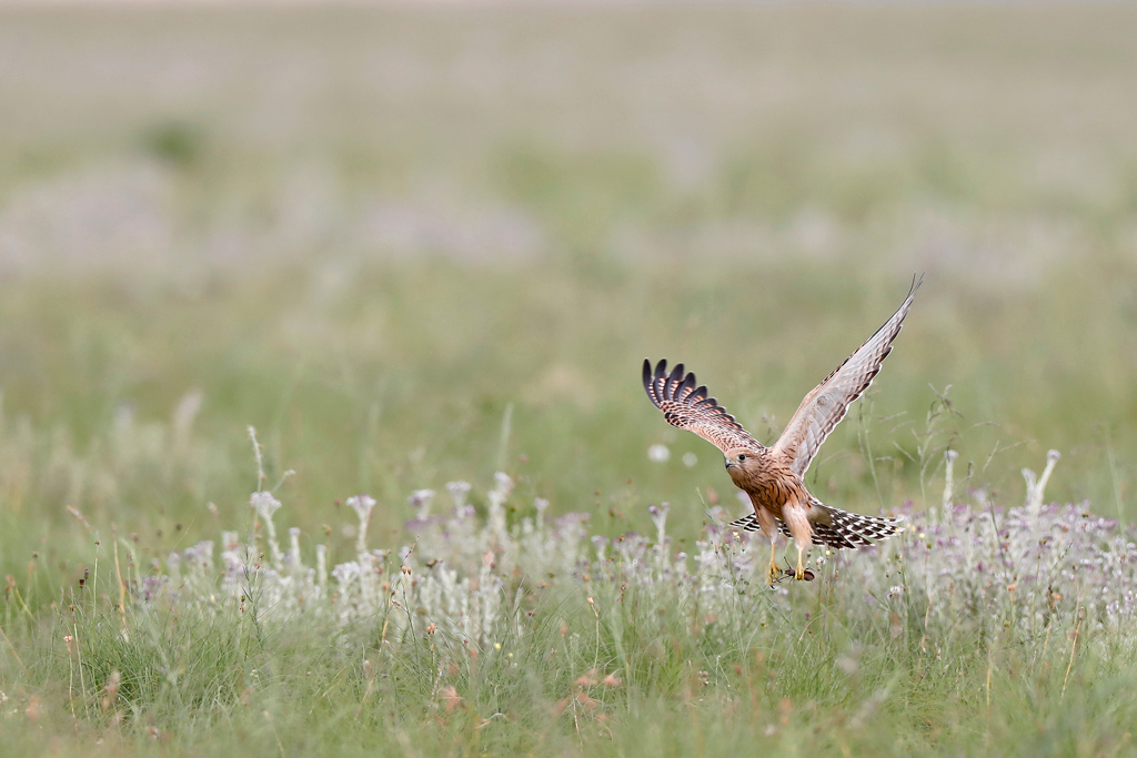 Greater Kestrel (& Solifugae) / Nambiti Game Reserve, Ladysmith, South Africa / December 2019