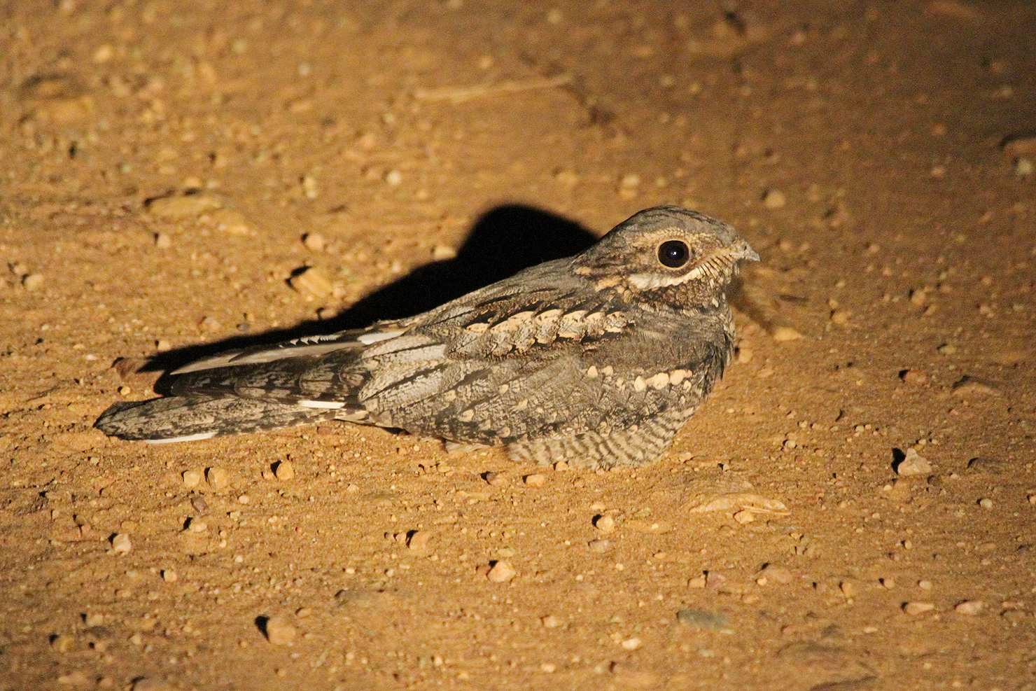 European Nightjar (male) / Punda Maria, Northern Kruger National Park, South Africa