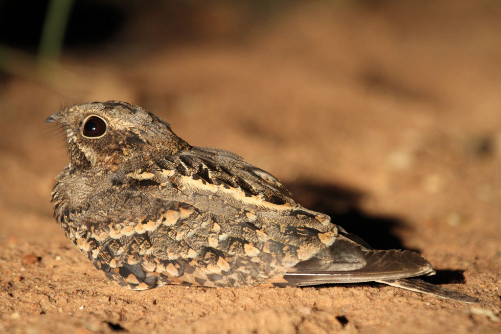 Square-tailed Nightjar – female / Northern Kruger National Park, South Africa / 05 February 2012