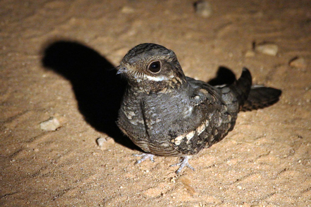 European Nightjar / Punda Maria, Northern Kruger National Park, South Africa