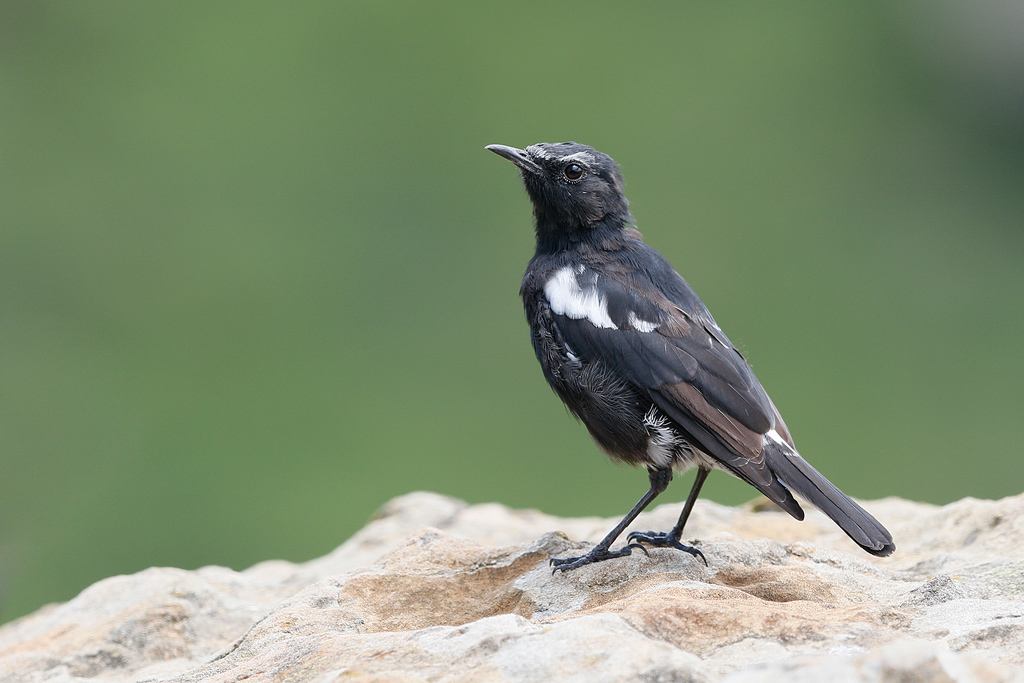 mountain wheatear or mountain chat bird wildlife photography by