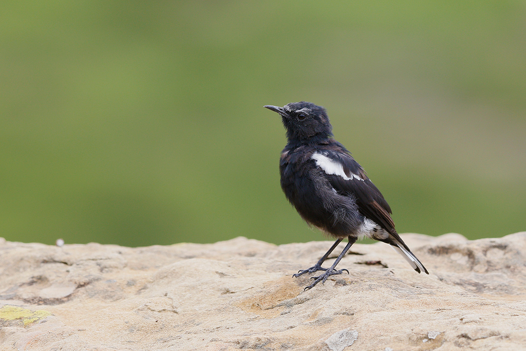 Mountain Wheatear / Oaklands Country Manor, Van Reenans, South Africa / 28 February 2016