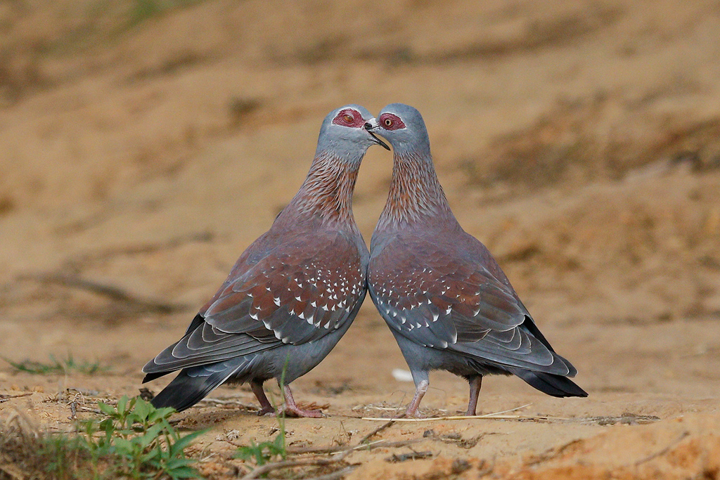 Speckled Pigeon / Oaklands Country Manor, KZN, South Africa