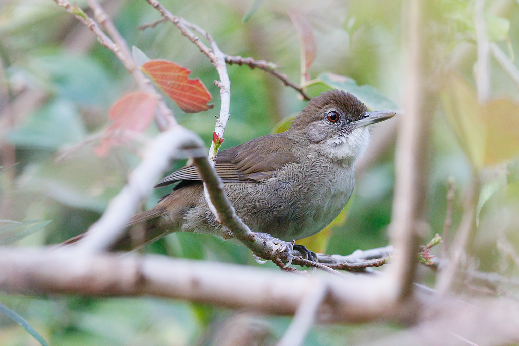 Terrestrial Brownbul / Ocean View, KwaZulu Natal, South Africa / 06 September 2015