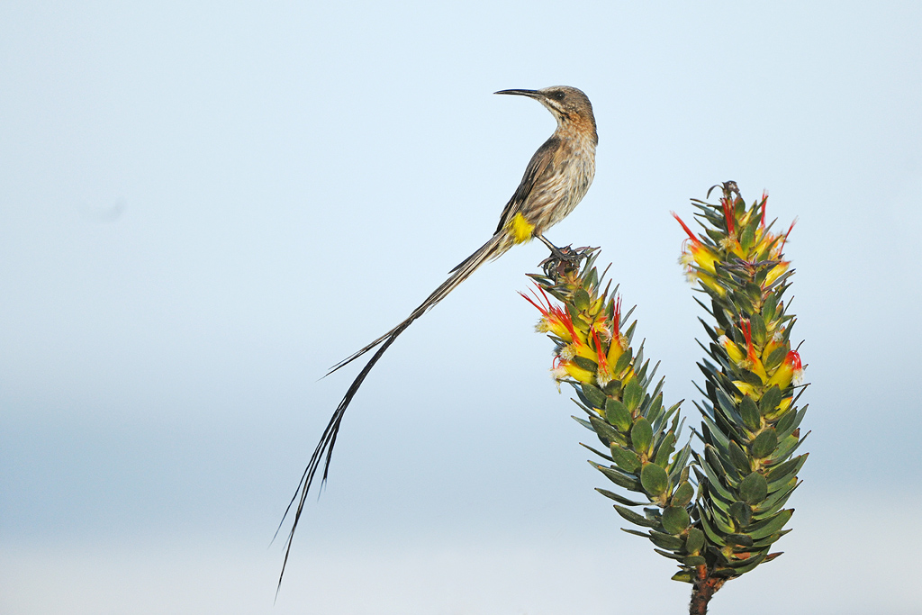 Cape Sugarbird / Olifantsbos, Cape Town, South Africa / 2018