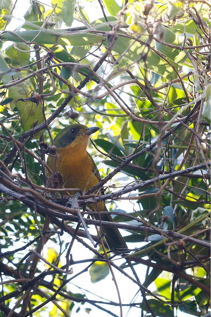 Olive Bushshrike (orange morph) / Umdoni Forest, KZN, South Africa / 12 April 2015