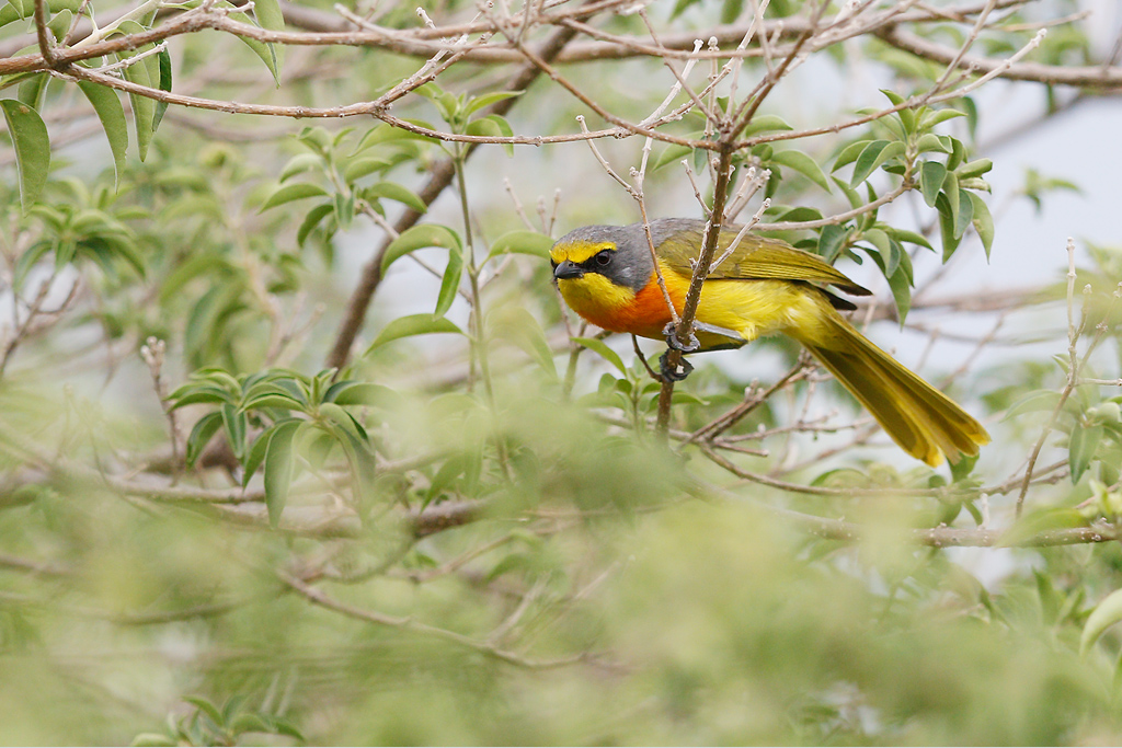 Orange-breasted Bush-shrike (adult) / Mabula Game Reserve, Waterberg, South Africa / 07 January 2015