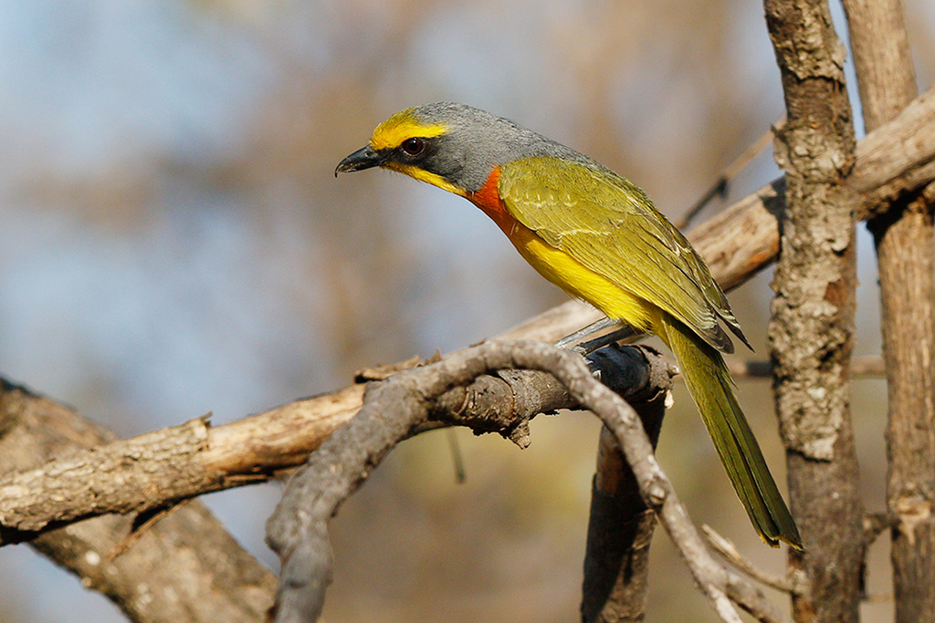 Orange-breasted Bushshrike / Kololo Game Reserve, Vaalwater, South Africa / 25 September 2015