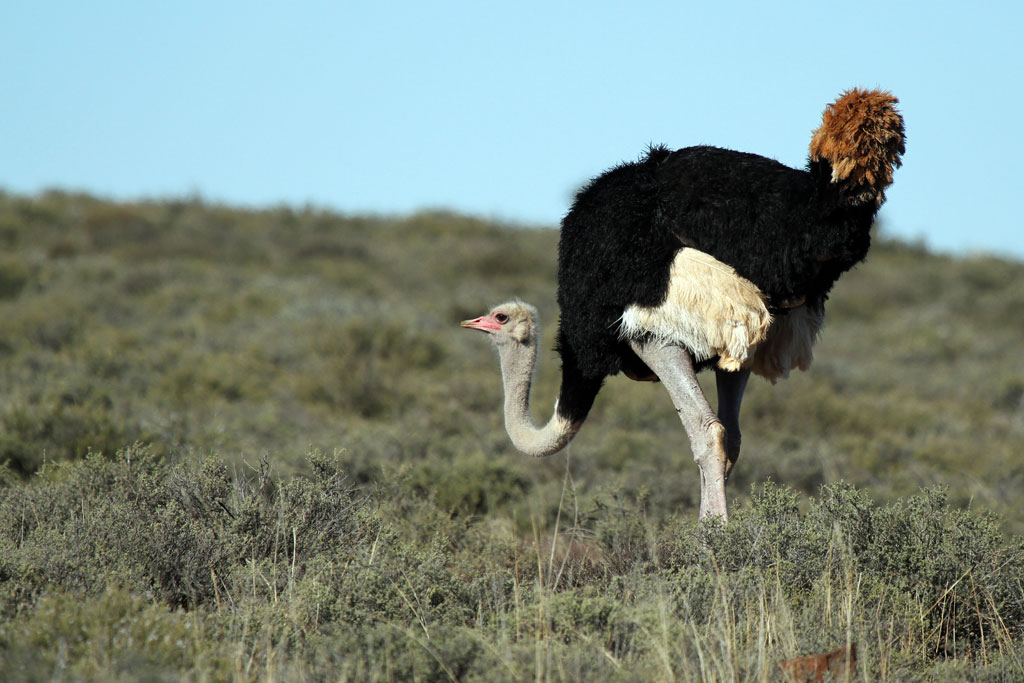 Common Ostrich / Karoo National Park, South Africa