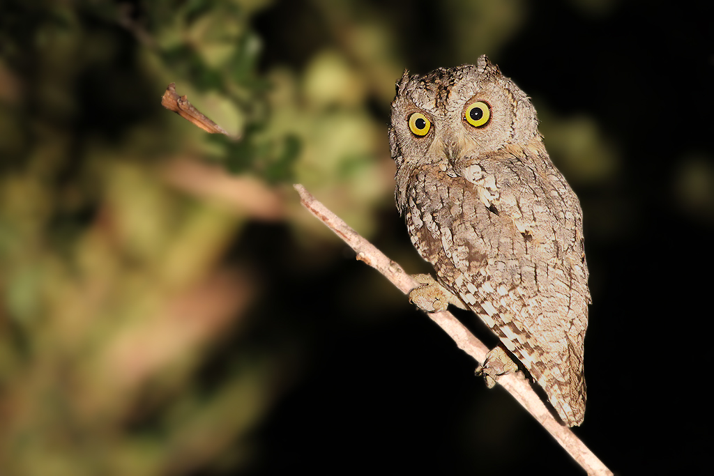 African Scops Owl / Byamiti, Southern Kruger National Park, South Africa / 03 March 2012