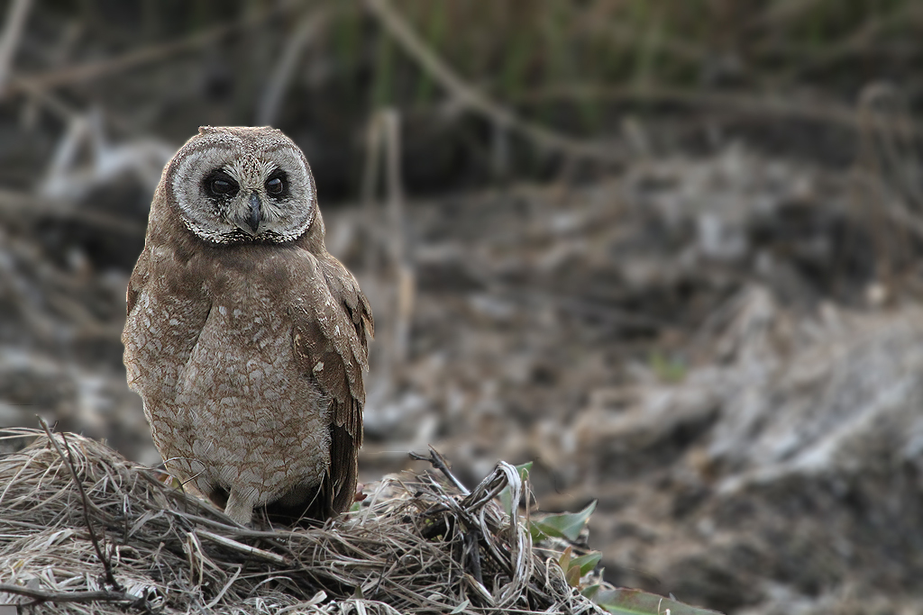 Marsh Owl / Marievale Bird Sanctuary, South Africa (Edited)