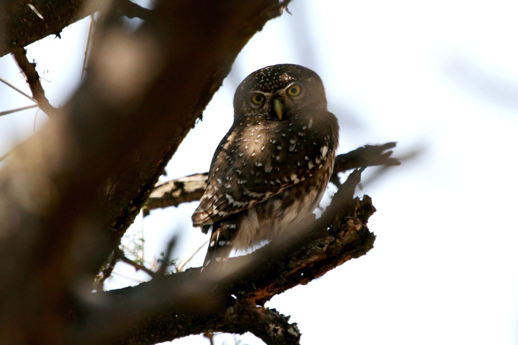 Pearl-spotted Owlet / Rust de Winter, South Africa