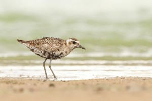 Special Birds / Pacific Golden Plover / Borakalalo National Park, South Africa