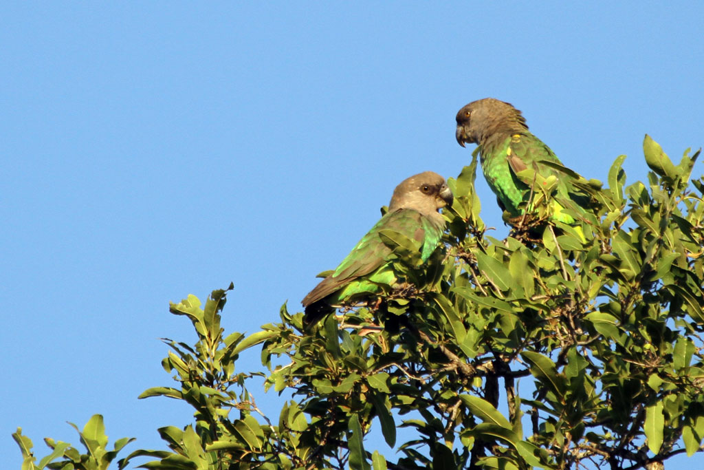 Brown-headed Parrot – male & female / Punda Maria, Northern Kruger National Park, South Africa