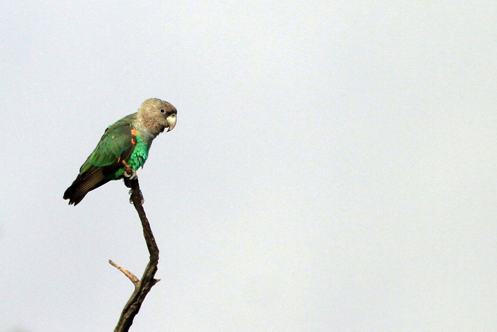 Grey-headed Parrot / Mahonie Loop, Punda Maria, Northern Kruger National Park, South Africa / 25 June 2012
