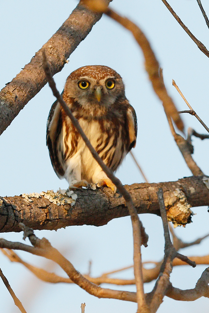 Pearl-spotted Owlet / Kololo Game Reserve, Vaalwater, South Africa / 25 September 2015