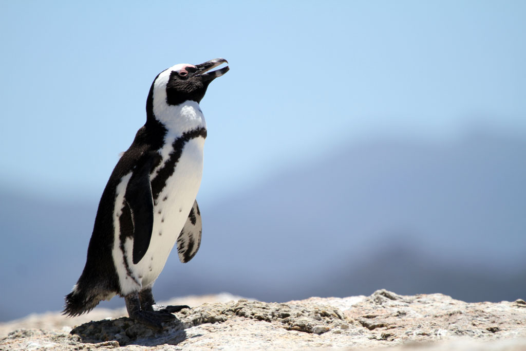 African Penguin / Boulders Beach, South Africa