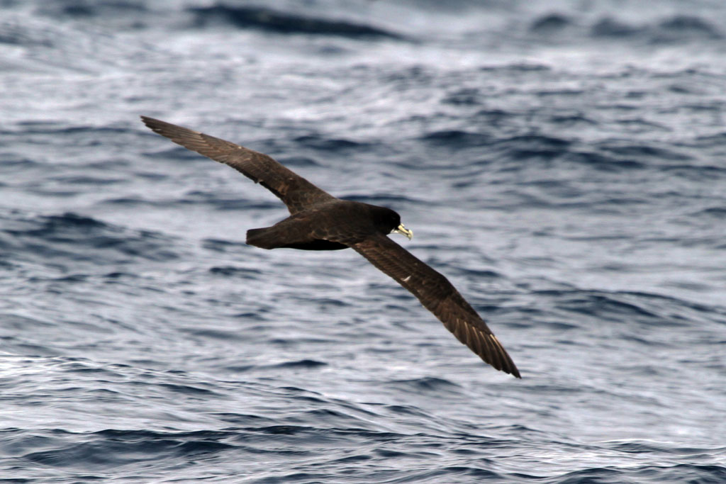 White-chinned Petrel / Cape Town Pelagic, South Africa