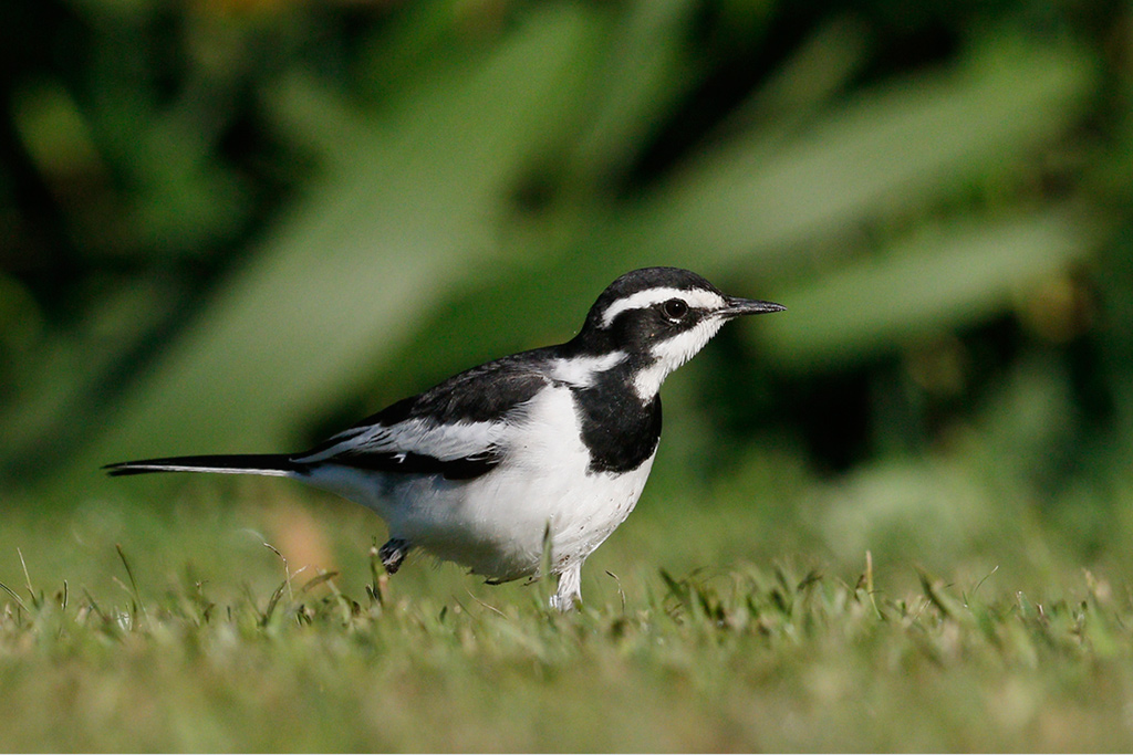 Pied Wagtail / Umdoni Forest, KwaZulu Natal, South Africa / 11 April 2015