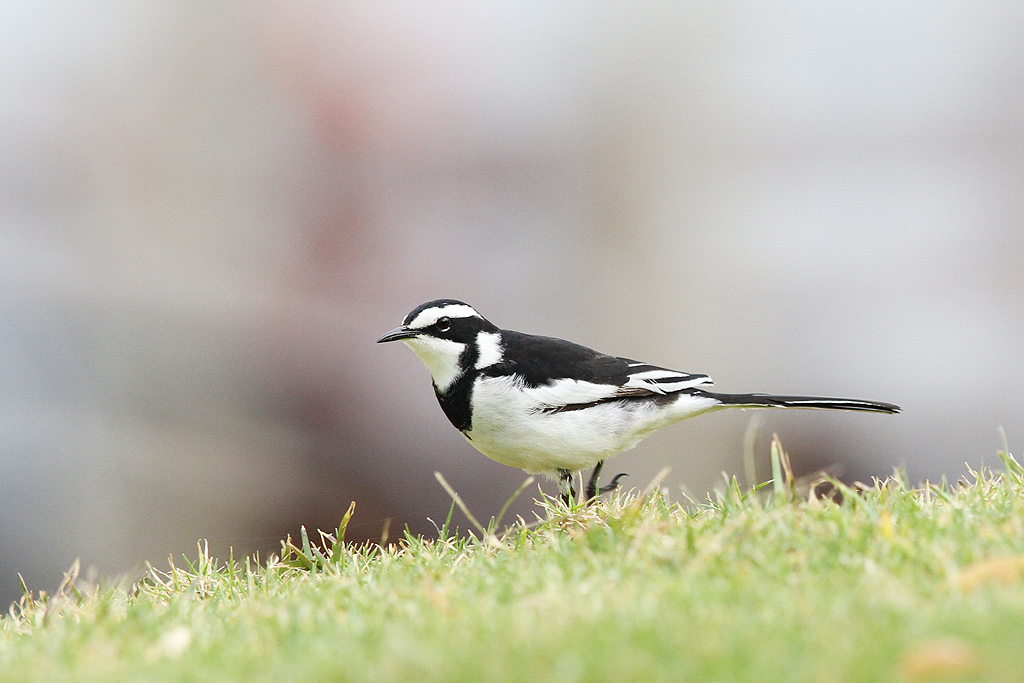 African Pied Wagtail / Umngazi River Bungalows, Eastern Cape, South Africa / 08 September 2013