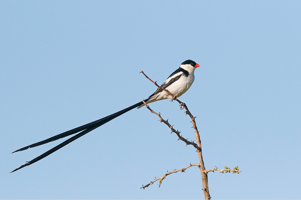 Pintailed Whydah (male) / Kgomo Kgomo, North West Province, South Africa / 17 January 2015