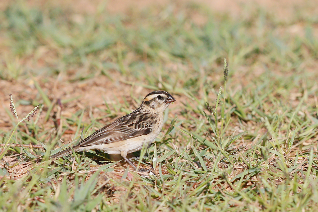 Pintailed Whydah / Kgomo Kgomo, North West Province, South Africa / 17 January 2015