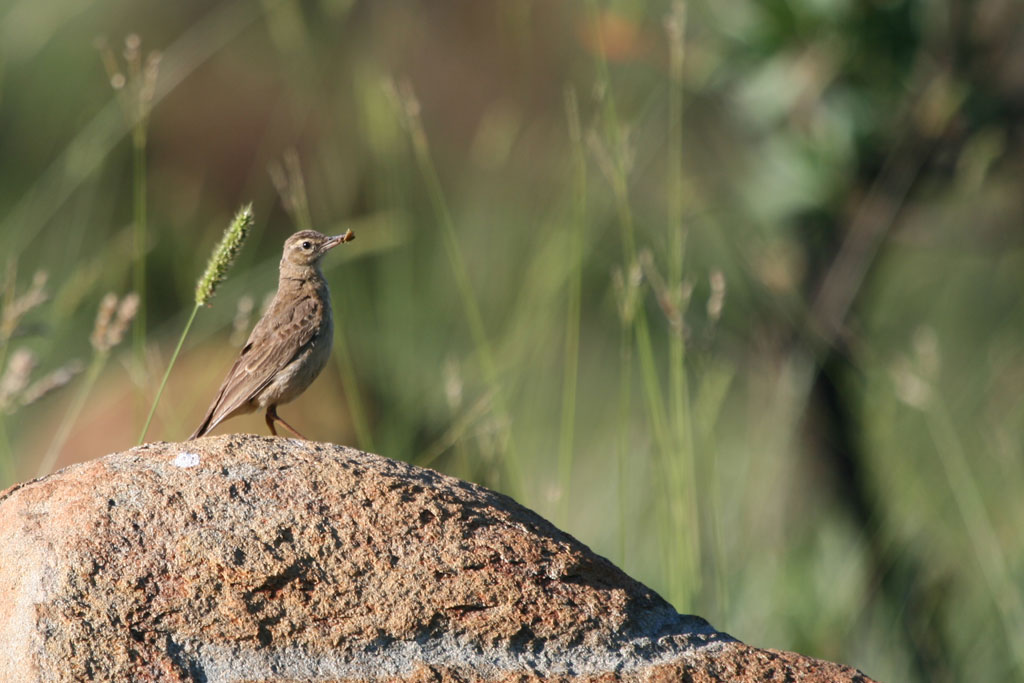 Buffy Pipit / Mount Grace, Magaliesberg, South Africa