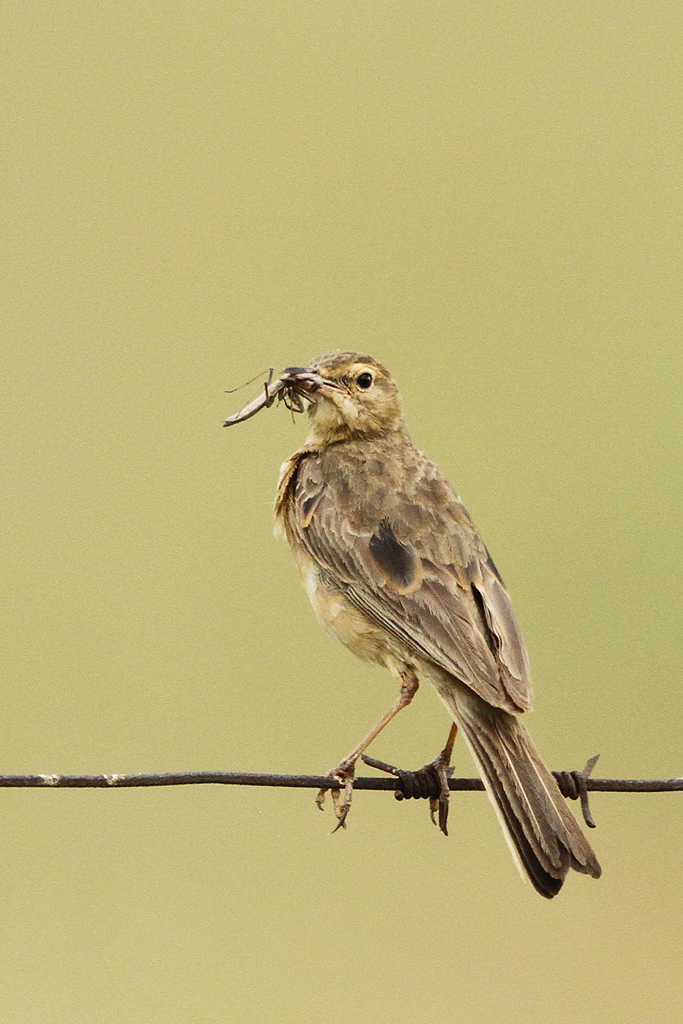 Plain-backed Pipit / Old Verdan Road, South Africa / 19 January 2014