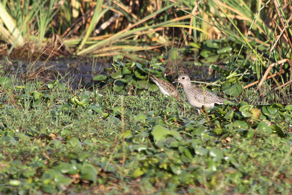 Grey Plover / Mkhombo Dam Nature Reserve, South Africa