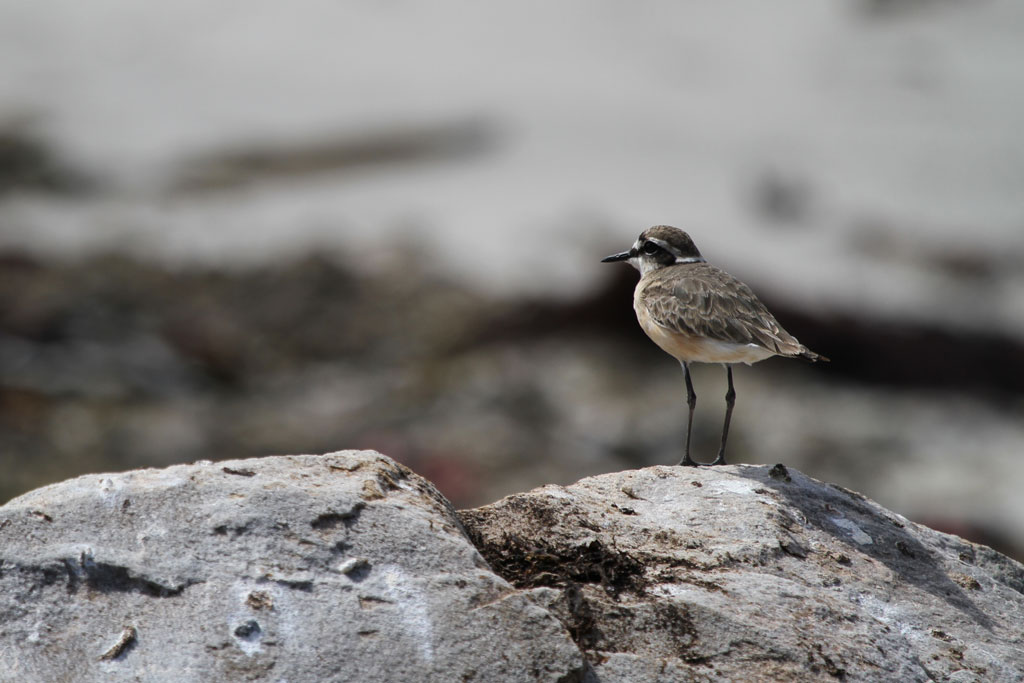 Kittlitz's Plover / Betty's Bay, South Africa