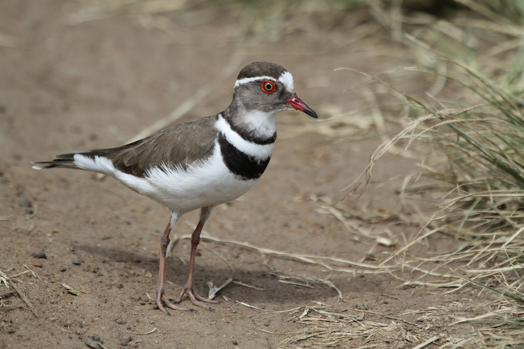 Three-banded Plover / Marievale Bird Sanctuary, South Africa