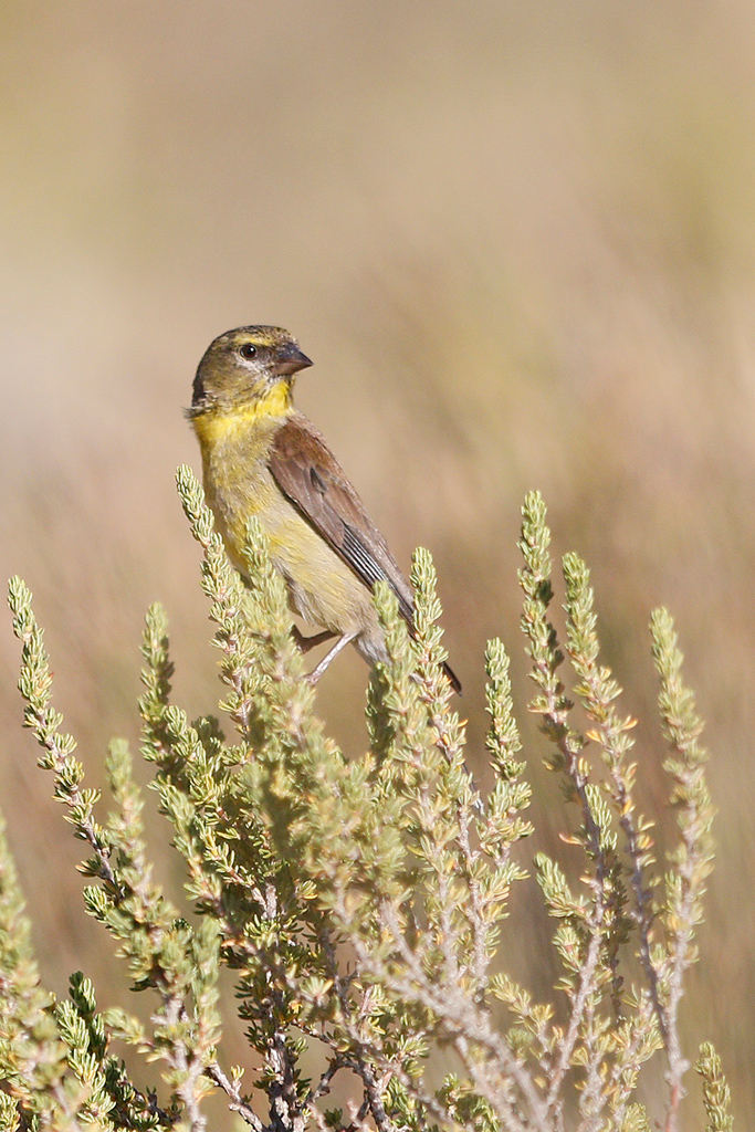 Cape Siskin / Swartberg Pass, Western Cape, South Africa / 01 January 2017