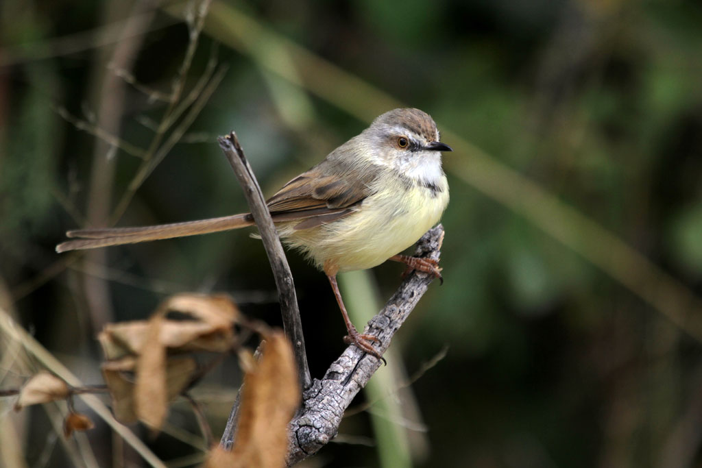 Black-chested Prinia / Nxai Pan, Botswana