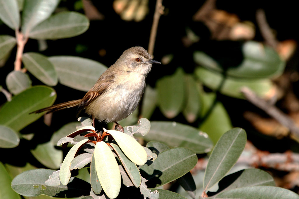 Tawny-flanked Prinia / Pretoria Botanical Gardens, South Africa