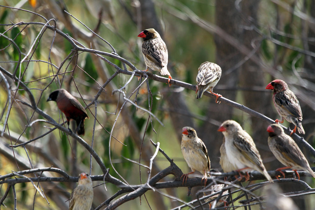 Red-billed Quelea – Male / Nxai Pan, Botswana