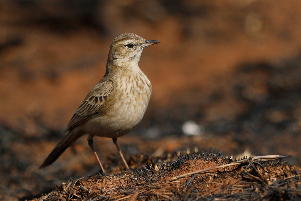 Buffy Pipit / Rietvlei Nature Reserve, South Africa / 31 July 2016