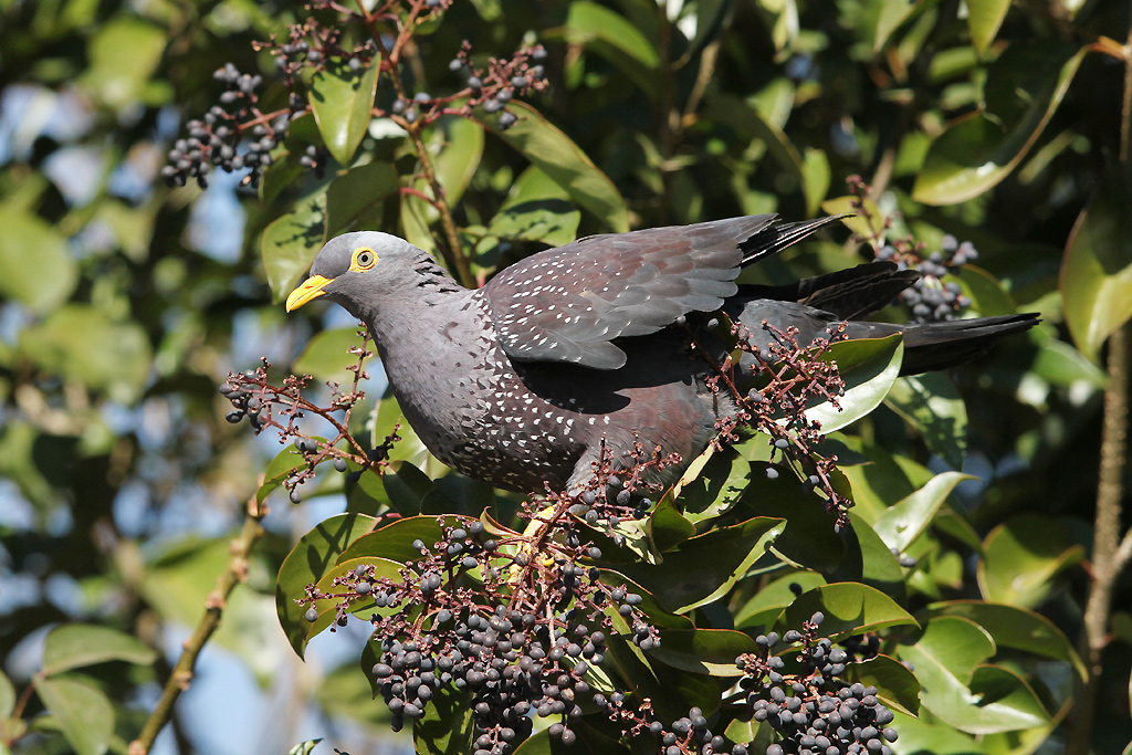 African Olive or Rameron Pigeon / Melrose-North, Johannesburg, South Africa / 19 July 2014