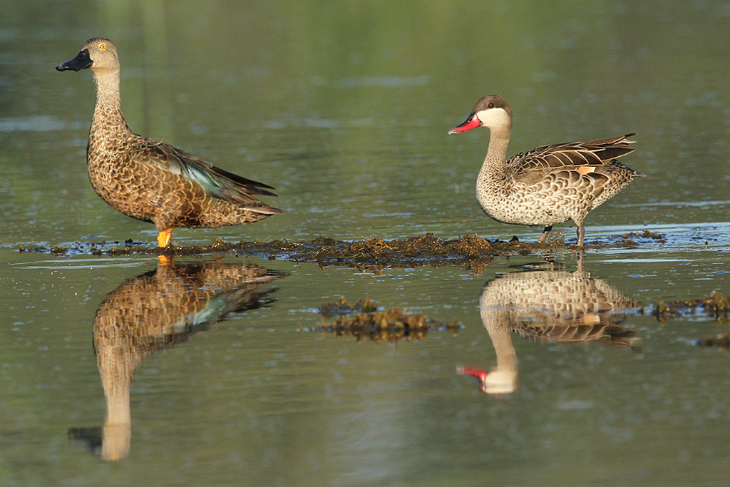 Red-billed Teal / Bullfrog Pan, Benoni, South Africa / 02 March 2014