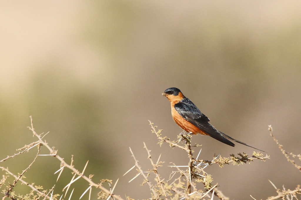 Red-breasted Swallow / Pilanesberg National Park, South Africa / 05 September 2014