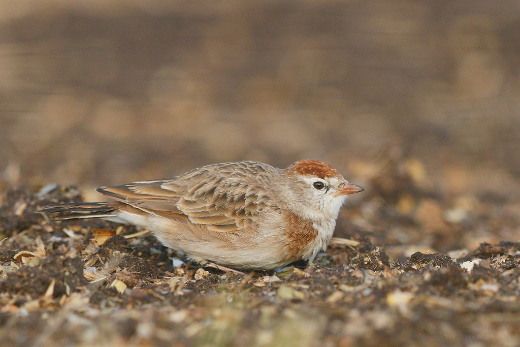 Red-capped Lark / Devon farmlands, South Africa / 14 March 2015