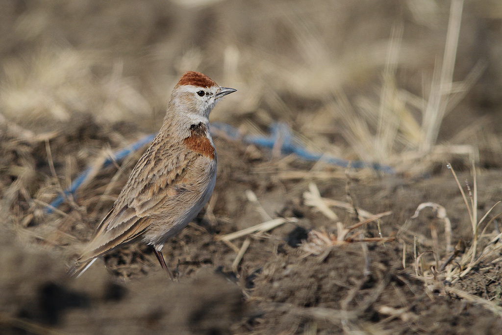 Red-capped Lark / Rietkuil Road, Devon, South Africa / 07 May 2014