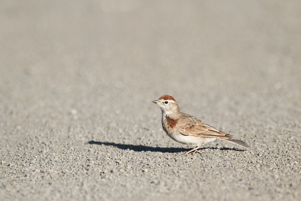 Red-capped Lark / Devon, South Africa / 18 Janaury 2014