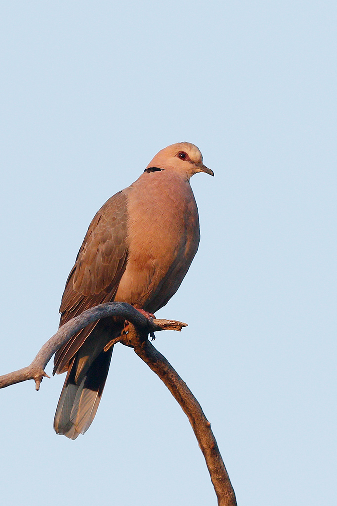Red-eyed Dove / Mabula Main Lodge, Waterberg, South Africa / January 2015