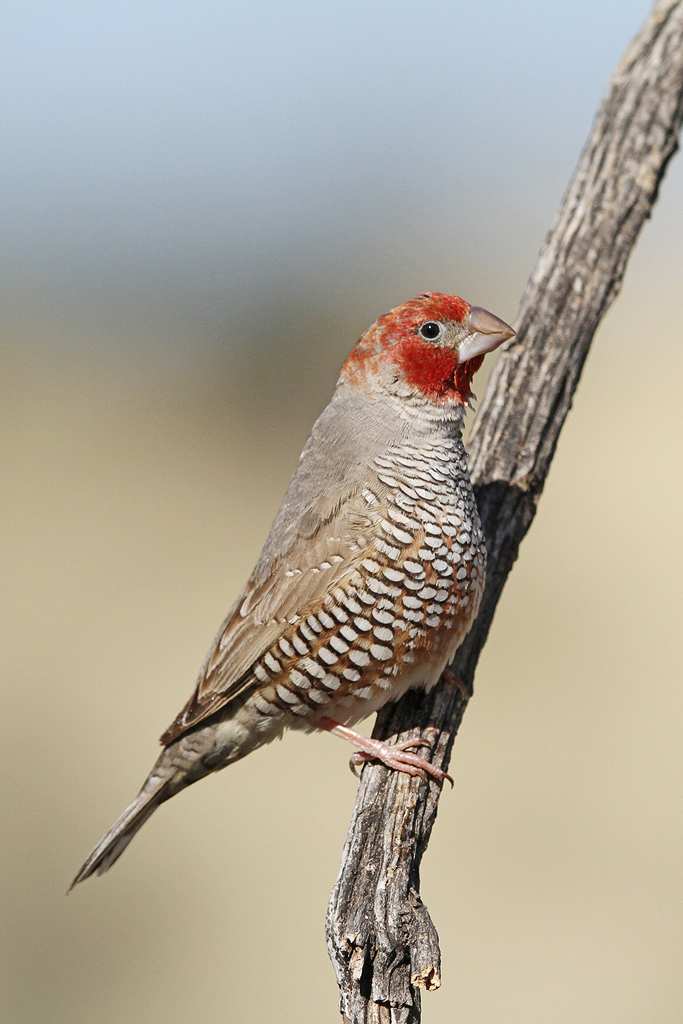 Red-headed-Finch_Kgalagadi-Transfrontier-Park,-South-Africa_10-June-2014-15-CR-SM-SH-WEB